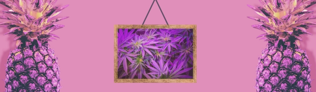 two purple pineapples and a hanged, framed photo of purple cannabis fan leaves for pineapple purps strain for chronic pain management on purple background